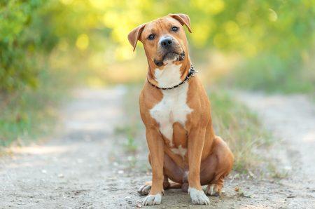 MoneyCheck | Hundehaftpflicht & Hundeversicherung American Staffordshire Terrier